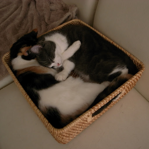 cute scottish fold cats snoozing in a basket