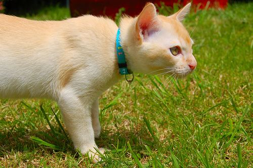 cute Burmese cat
