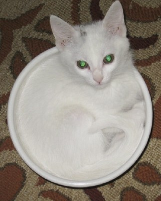 cute white kitten in a bowl