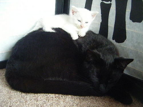 cute white kitten and black cat