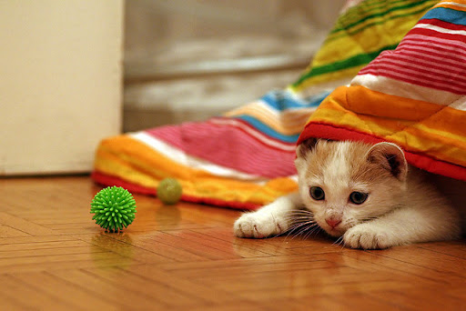 cute kitten under blanket