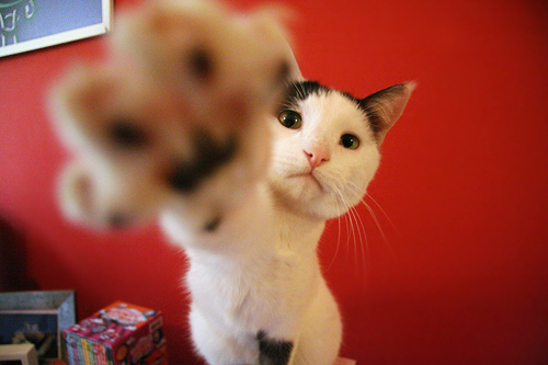 cute cat reaching out his paw