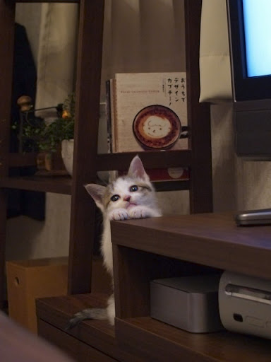 cute kitten stands by table