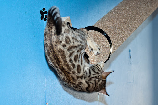 cute bengal cat trying to get in the tube