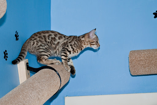 cute bengal kitten getting ready to jump