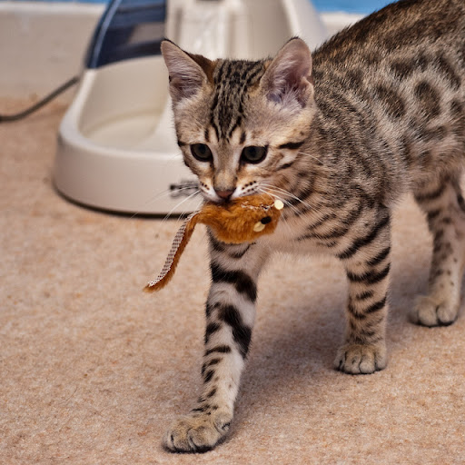 cute bengal cat and his mouse