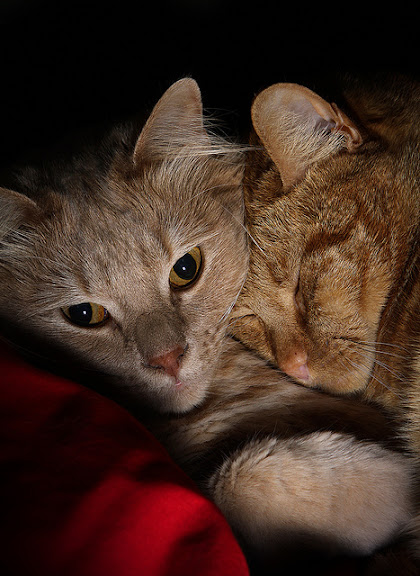 cute ginger cats cuddling