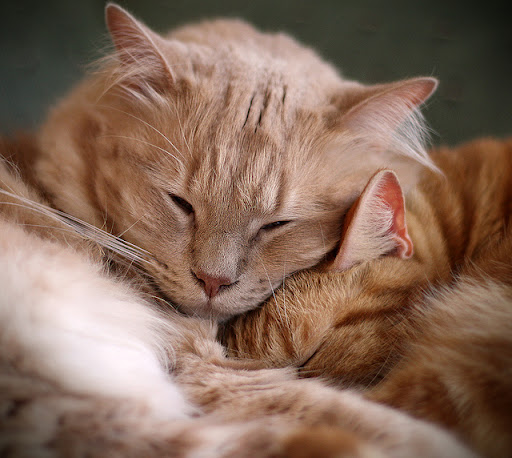 cute ginger cats snuggling and sleeping
