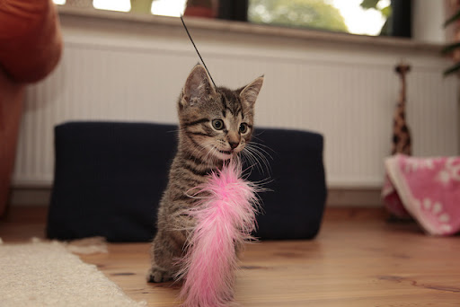 cute tabby kitten catches feather toy