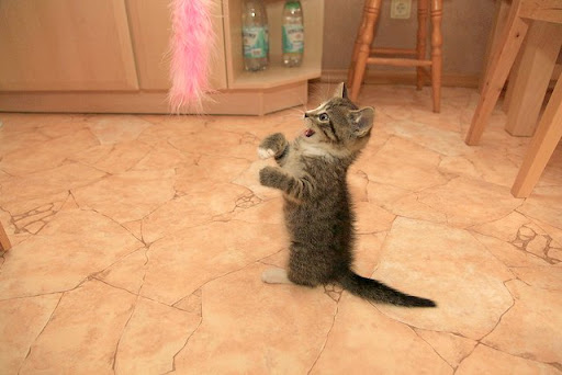 cute kitten playing with feather toy