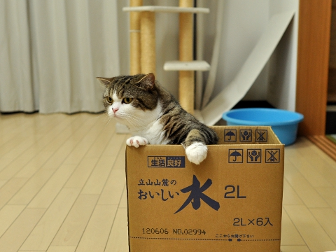 cute cat maru in a cardboard box
