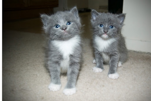 cute rescued foster kittens grey kittens
