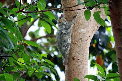 Flying lemur in Langkawi