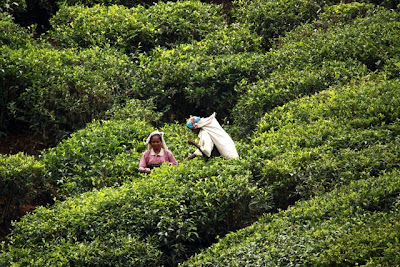 Workers on a Sri Lanka tea plantation