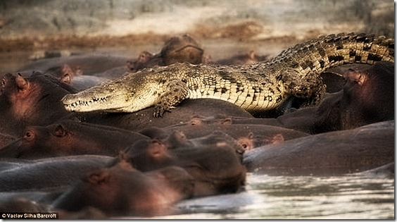hippo-attacked-the-crocodile01