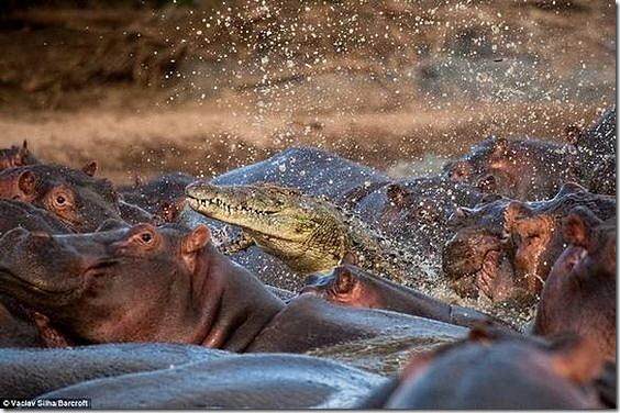 hippo-attacked-the-crocodile02