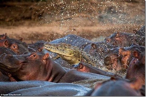 hippo-attacked-the-crocodile02
