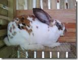 ternak-kelinci-australia