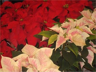 Cuidado de la ponsetia o flor de pascua - Flor de pascua cuidados ...