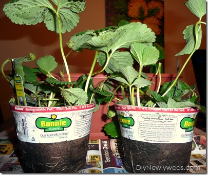 strawberry_plants