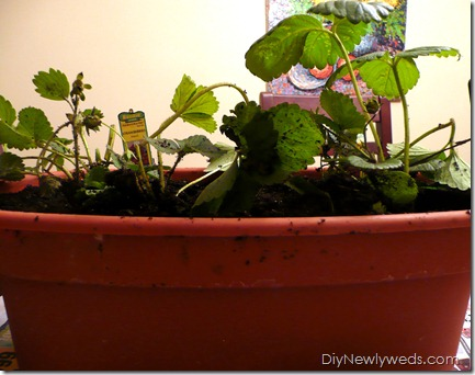 diy_strawberry_plants