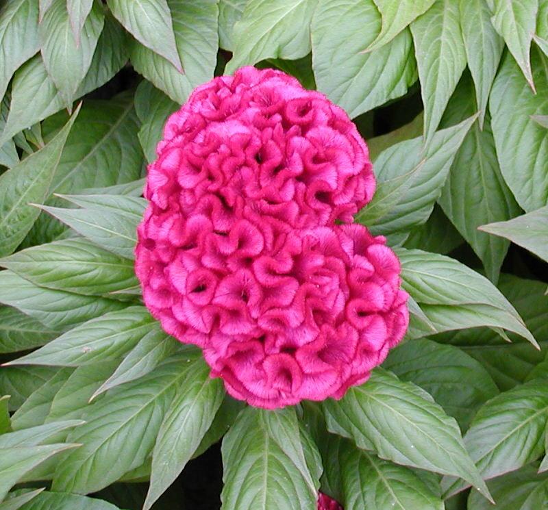 Super Imagens com Texto: Flor chinesa? Origem tropical, Amaranthaceae UU46