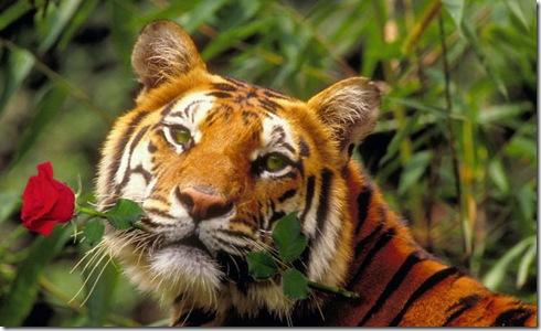 Тигр с розой 1
