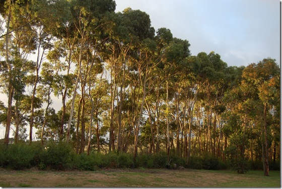 Gum trees with evening light