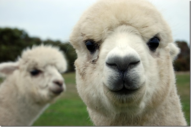alpacas @ Rocky's