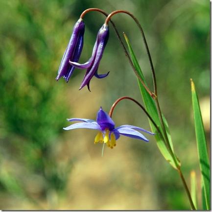 Grampians - wildflower 2