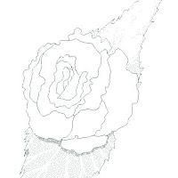 begonia2.jpg