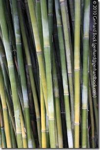 Bambusa textilis 'Gracilis'