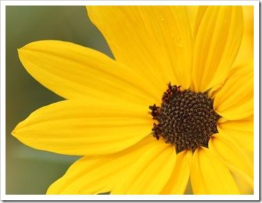 101031_perennial_sunflower