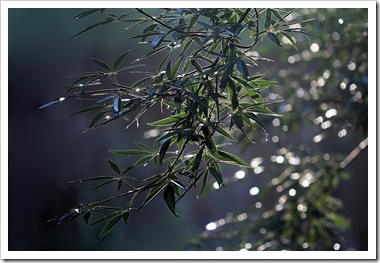 101022_rain_drops_chaste_tree