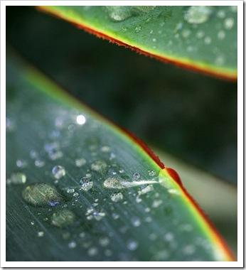 101022_rain_drops_agave_blue_glow