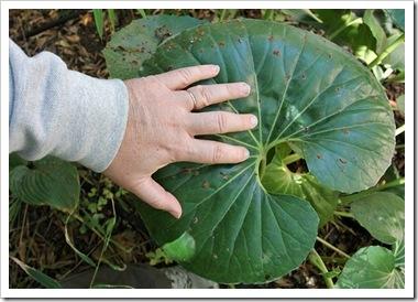101027_farfugium-japonicum-giganteum_with_hand