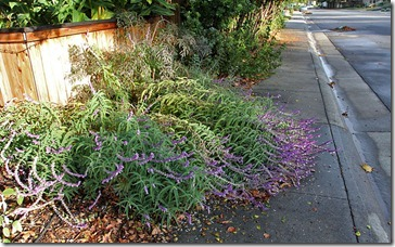 101107_flattened_mexican_bush_sage
