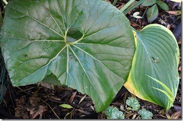 101107_chewed_farfugium_leaf