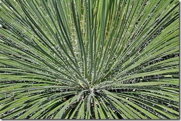 Agave-geminiflora