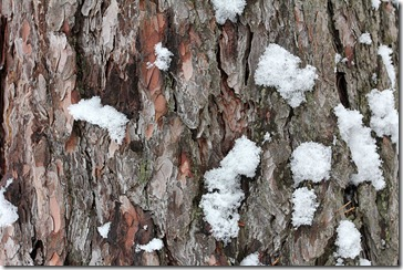 101127_pine_bark_with_snow_sm
