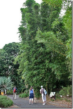 Bambusa-oldhamii-Royal-Bot-Garden-Sydney_06