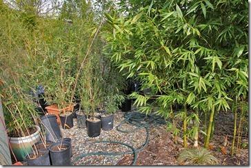 101211_Madman-Bamboo-backyard2