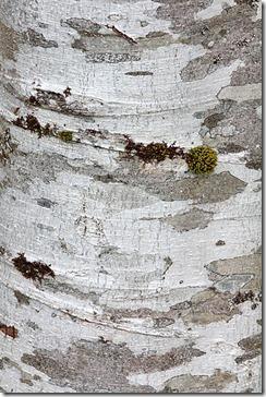 bark_alder