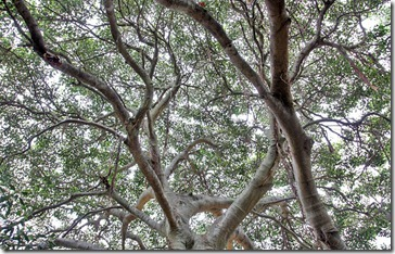 091226_moreton_bay_fig