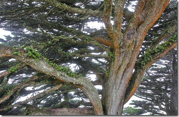 100816_cypress_pt_reyes