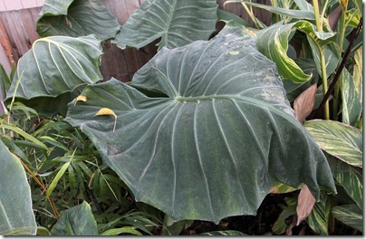 110110_frost_alocasia