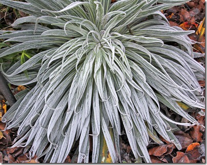 110110_frost_echium_wildpretii