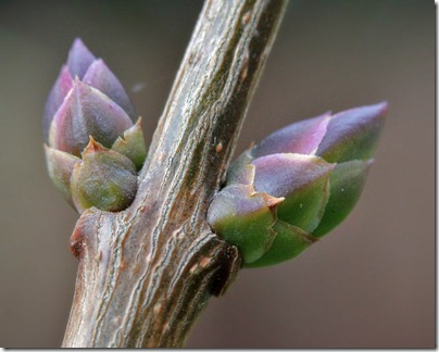 110125_lilac_bud1