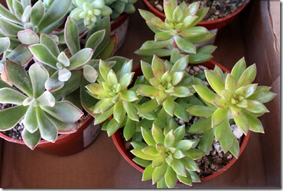 110120_sedum_nussbaumerianum echeveria_pulvinata