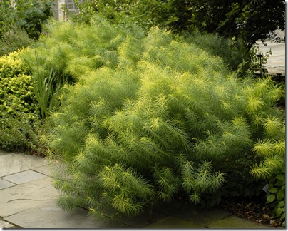 amsonia_hubrichtii1_wg_W